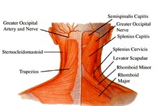 Muscles_of_the_neck