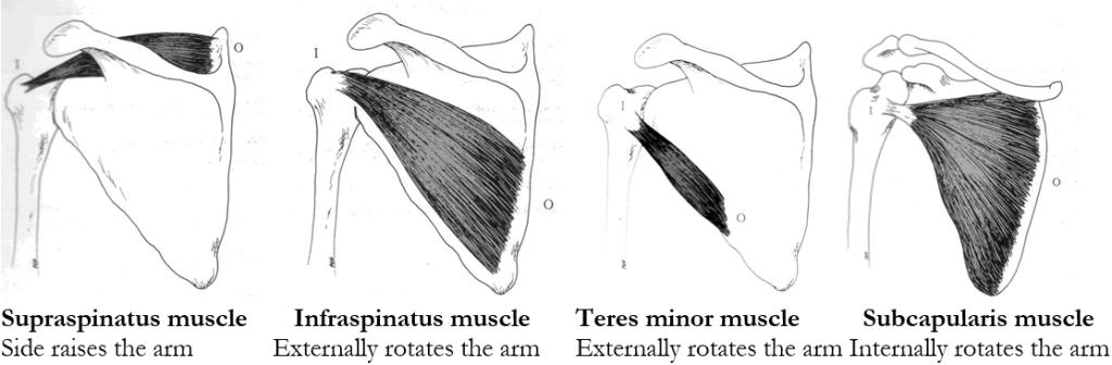 Rotator_cuff_muscles
